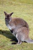 Wallaby seduto nel fissare del campo immagini stock libere da diritti