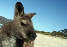 Wallaby selfie on beach Stock Photos