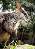 Wallaby side-view Royalty Free Stock Images