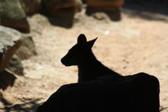 Wallaby silhouette. Wallaby portrait silhouette hiding rock Royalty Free Stock Photo