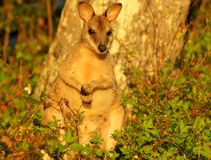 Wallaby. A wallaby is a small- or mid-sized macropod found in Australia and New Guinea. They belong to the same taxonomic family as kangaroos and sometimes the Stock Images