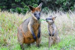 Wallabies into the wild. Cape Byron. New South Wales. Australia royalty free stock photos