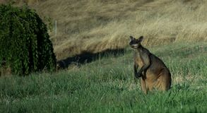 Wallaby solo Immagine Stock