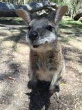 Wallaby spotted Stock Image
