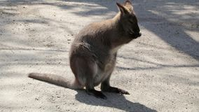 Wallaby standing facing towards front cleaning hands and face