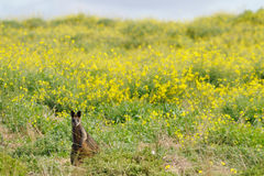 Wallaby standing Stock Photos