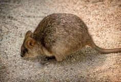 Wallaby szuka jedzenie w Queensland, Australia obrazy royalty free