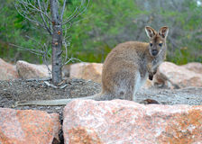 Wallaby in Tasmania, Australia Royalty Free Stock Photography