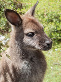 Wallaby in Tasmania Royalty Free Stock Photo