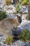 Wallaby in Tasmanian bush Stock Photography
