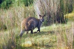 Wallaby Tasmanie de Bennetts photographie stock