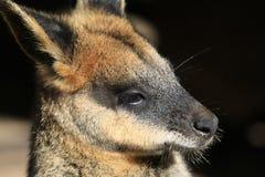 Wallaby twarz zdjęcie stock