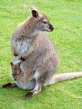 Wallaby und joey Lizenzfreies Stockbild