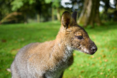 Wallaby up close and personal side view Stock Images