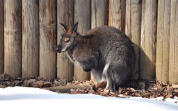 Wallaby. View of a Wallaby  in winter at a wooden fence Royalty Free Stock Images