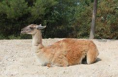 Wallaby w dzikim parkowym Naturze Viva, Bussolengo, Włochy zdjęcie stock