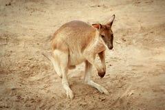 Wallaby w piaski fotografia stock