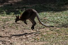 Wallaby which leaps up in zoo Stock Images