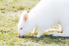 Albino wallaby feeding Stock Images