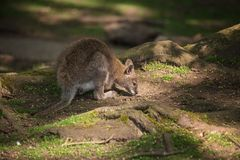 Wallaby wildlife Diprotodontia Macropoidae in sunlgiht in woodla Royalty Free Stock Photo