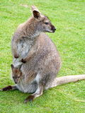 Wallaby y joey Imagen de archivo libre de regalías