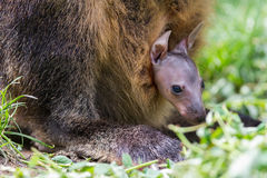 Wallaby with a young joey Stock Image