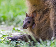 Wallaby with a young joey Royalty Free Stock Images