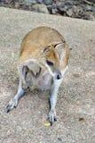 Wallaby z joey w jej kieszonce zdjęcie royalty free