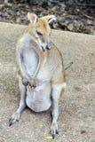 Wallaby z joey w jej kieszonce zdjęcia stock