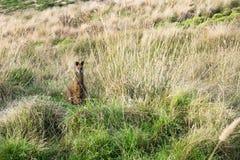 Wallaby z trawą w swój usta przy Nobbies, Phillip wyspa, Wiktoria, Australia zdjęcia stock