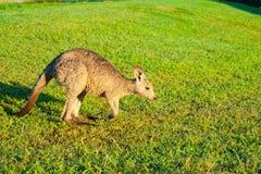 Wallaby za wczesnego poranku karmieniu na gazonie zdjęcia stock