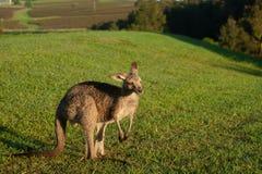 Wallaby za wczesnego poranku karmieniu na gazonie fotografia royalty free