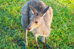 Wallaby za wczesnego poranku karmieniu fotografia royalty free