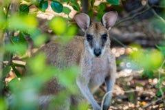 Wallaby zamknięty up strzelał w lesie w Australia obraz stock