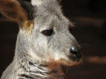 Wallaby zamknięty up wizerunek obrazy royalty free