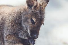 Wallaby zbliżenia cleaning łapy w rocznika położeniu fotografia stock