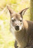 Wallabyporträt Lizenzfreie Stockfotografie
