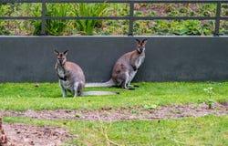 Wallabys die de camera in de dierentuin van Amsterdam onderzoeken stock foto