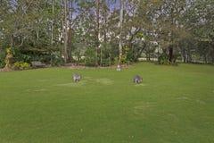Wallabys im australischen Landleben Stockfotos