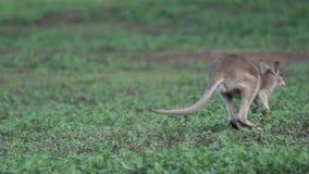 Wallabysprongen weg in langzame motie in Opdrachtstrand, Australië stock footage