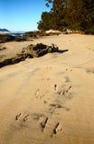 Wallabyvoetafdrukken op zandig strand Stock Foto's