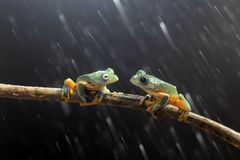Wallace`s flying frog, Wallace`s flying frog on a branch.  royalty free stock photo