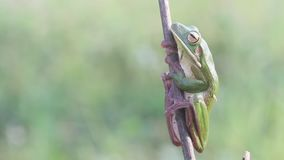 Frog, frogs, tree frogs, close up, amphibians stock video footage