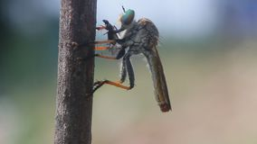 Robberfly, roberfly are eating small insects. Wallace`s flying frog, frogs, tree frogs, close up, amphibians Wallace`s flying frog, frogs, tree frogs, close up stock video
