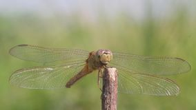 Dragonflies, dragonflies are waiting for prey on twigs