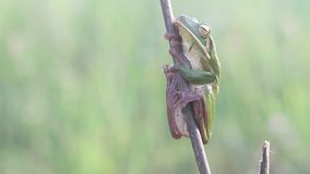 Wallace`s flying frog, frogs, tree frogs, close up, amphibians.  stock video