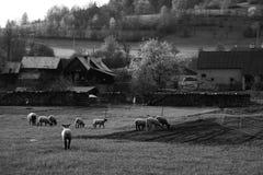 Wallachia landscape..grazing sheeps stock image