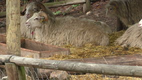 Wallachian绵羊羊属orientalis白羊星座 股票录像