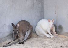 Wallaroos relaxing Stock Images