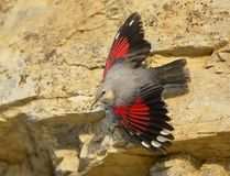 Wallcreeper Royalty Free Stock Photo